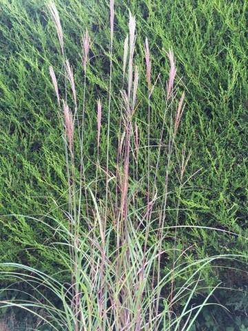 Miscanthus sinensis 'Grosse Fontäne' (Miskant chiński) - C3