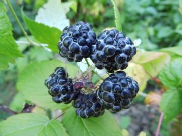 Rubus occidentalis 'Bristol' (Malina czarna) - C2