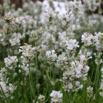 Lavandula angustifolia 'Arctic Snow' (Lawenda wąskolistna) - C2