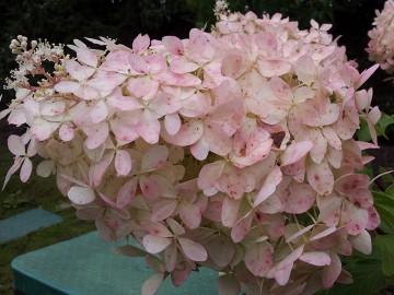 Hydrangea paniculata 'Mega Pearl' (Hortensja bukietowa) - C5