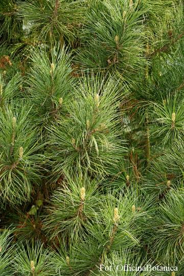 Pinus cembra (Sosna limba) - C3