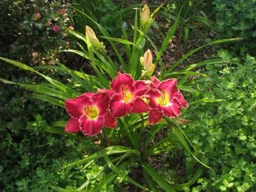 Hemerocallis 'Francis of Assisi' (Liliowiec ogrodowy) - C5