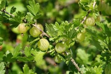 Ribes uva-crispa 'Biały Triumph' (Agrest) - C3,5