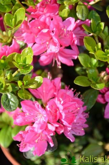 Rhododendron japanese azalea 'Kermesina' (Azalia japońska) - C4