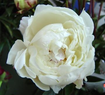 Paeonia lactiflora 'Boule de Neige' (Piwonia chińska) - C3
