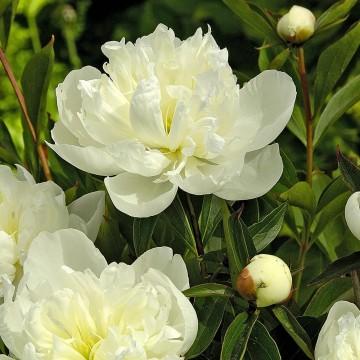 Paeonia lactiflora 'Duchesse De Nemours' (Piwonia chińska) - C3