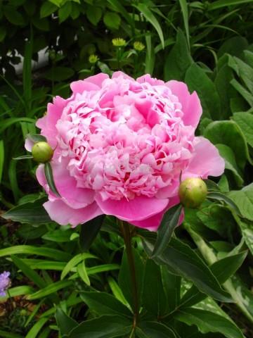 Paeonia lactiflora 'Monsieur Jules Elie' (Piwonia chińska) - C3