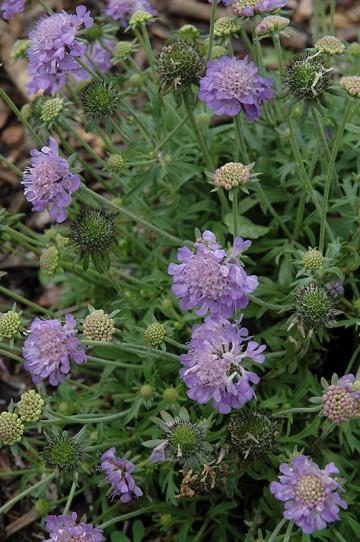 Scabiosa japonica 'Ritz Blue' (Driakiew japońska) - C2