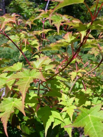 Acer micranthum (Klon drobnokwiatowy) - C5