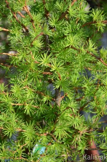 Larix kaempferi 'Diana' (Modrzew japoński) - C5 bonsai