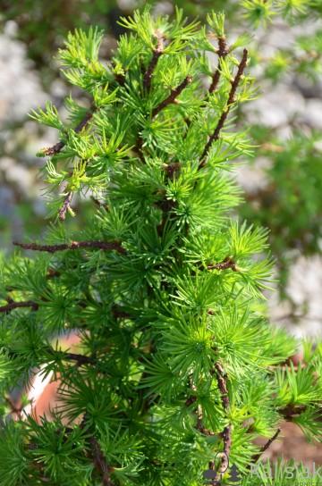 Larix decidua 'Little Bogle' (Modrzew europejski) - C5 bonsai