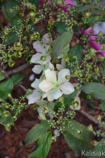 Viburnum plicatum 'Molly Schroeder' (Kalina japońska) - C5 bonsai