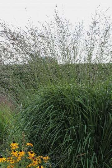 Molinia arundinacea 'Windspiel' (Trzęślica trzcinowata) - C3